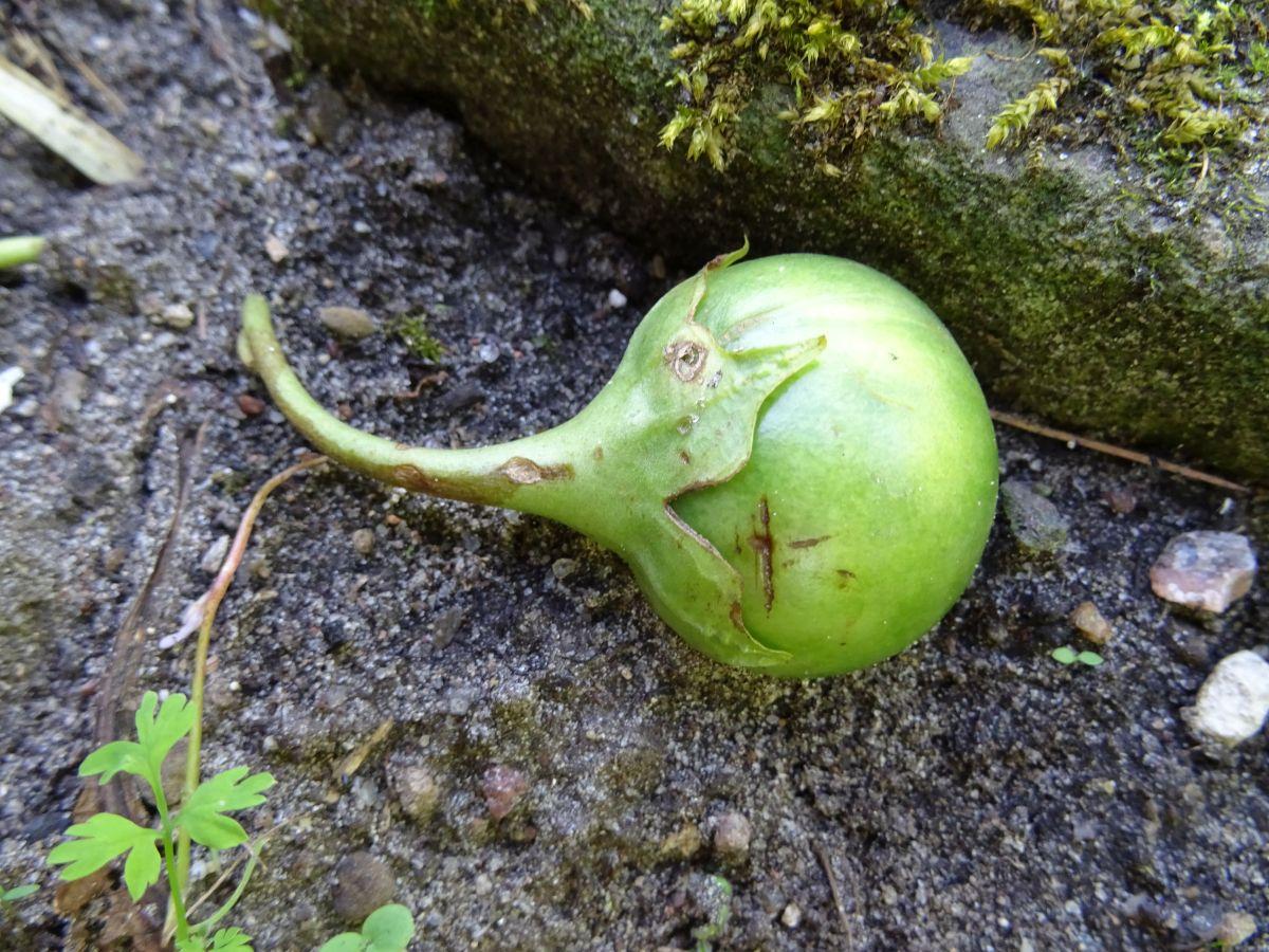 Angeblicher Liebesapfel - die Frucht der Alraune
