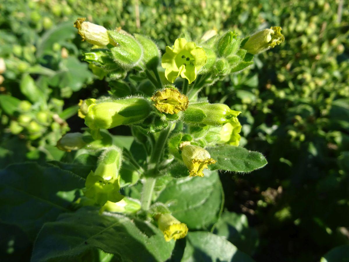 Bauerntabak Nicotiana rustica