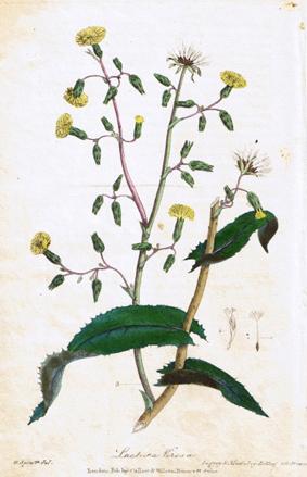 Lactuca virosa, aus einem botanischen Buch von 1828