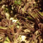Cannabis und die Lunge