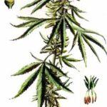 Rezension Franjo Grotenhermen, Britta Reckendrees: Die Behandlung mit Cannabis und THC