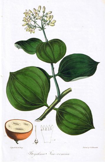 Strychnos Nux-vomica, 1828