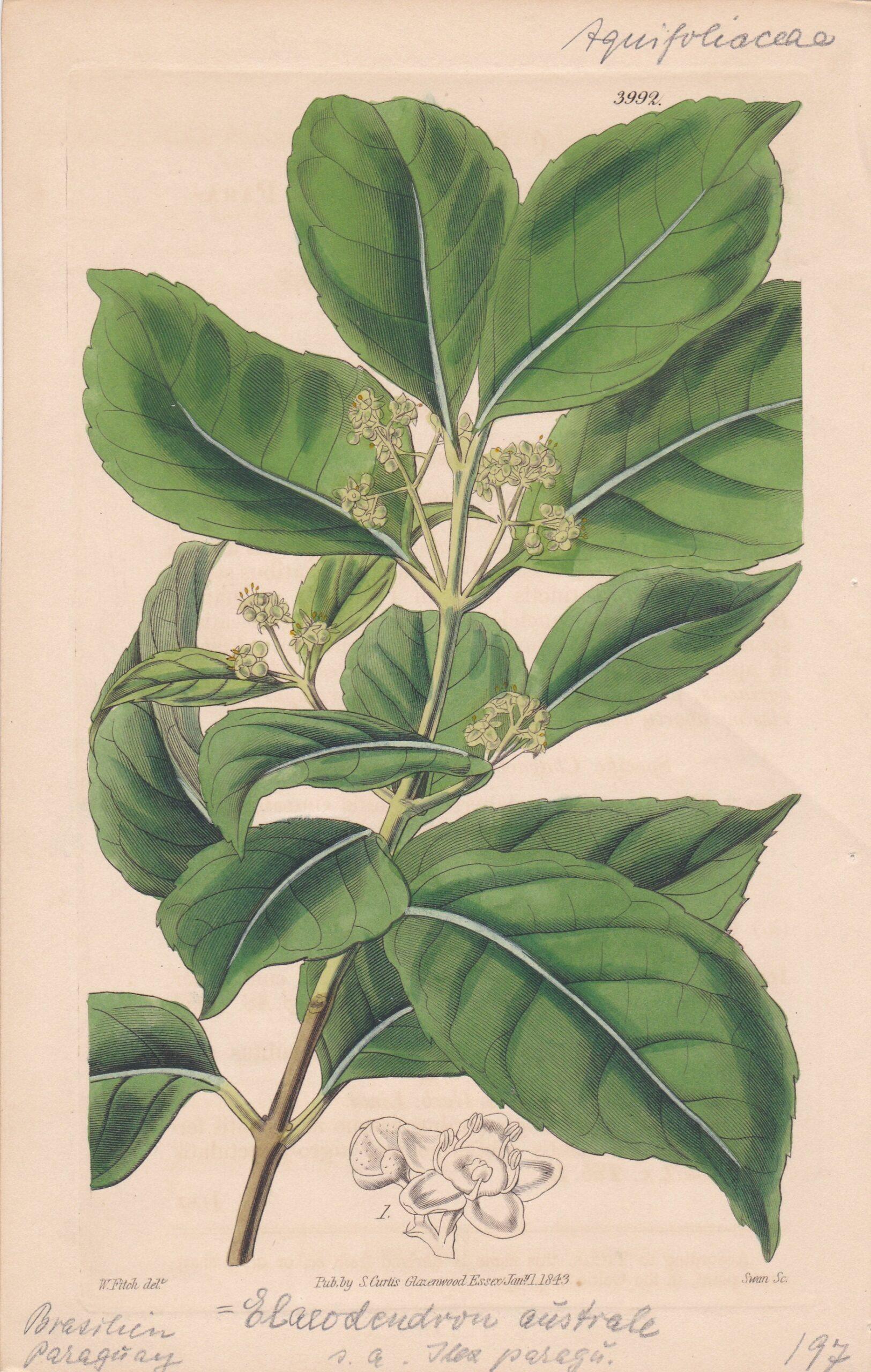Ilex Paraguariensis, Handkolorierter Kupferstich, Botanical Magazine Nr. 3992